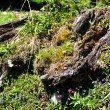 Alpine tree stump - Stock Photo