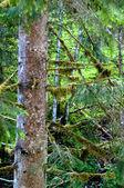 Ağaç, yosun kaplı — Stok fotoğraf