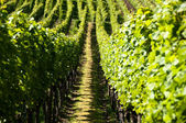 Wineyards In Early Summer — Stock Photo