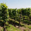 Wineyards In Early Summer - Stock Photo