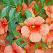 Stock Photo: Nasturtium
