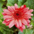 Stock Photo: Red Daisy