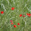 Poppies — Stock Photo #5598660