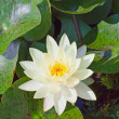Waterlily — Stock Photo #6435048