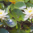 Waterlily — Stock Photo #6452553
