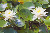 Waterlily — Stockfoto