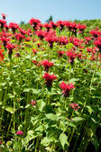 Field red flowers — Stock Photo