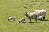 Lambs and sheep in field — Stock Photo
