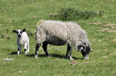 Lamb and sheep in field — Photo