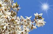 Flowering white magnolia — Stock Photo