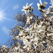 Stock Photo: Flowering white magnolia