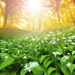 Wild garlic forest — Stock Photo #5388523