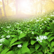 Wild garlic forest — Stock Photo #5388550