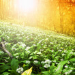 Wild garlic forest — Stock Photo #5388574