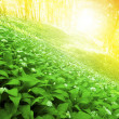 Wild garlic forest — Stock Photo #5388601