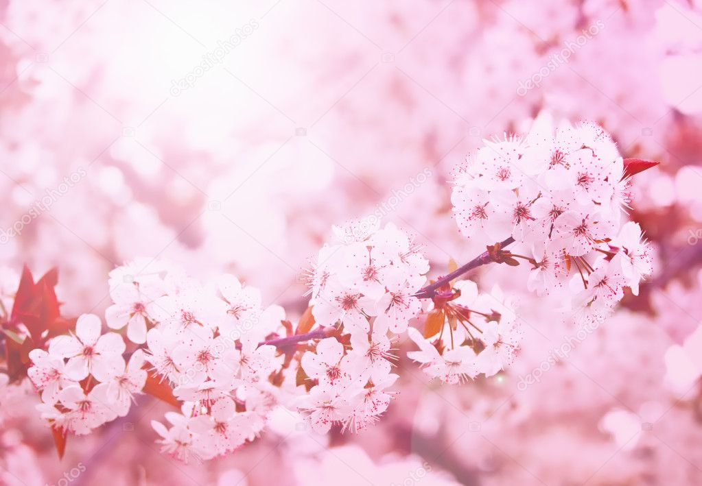Spring blooming cherry flowers branch  — Stock Photo #5449091