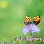 Butterflies on flower — Stock Photo