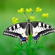 Swallowtail butterfly on flower — Stock Photo #5439888