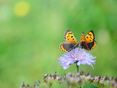 Butterflies on flower — Stock Photo
