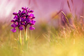 Spring flowers - Greyhound orchid — Stock Photo