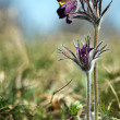 Black Pulsatilla flowers — Stock Photo