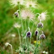 Black Pulsatilla flowers — Stock Photo #5455045