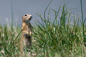 Gopher in the grass — Stock Photo