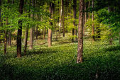 Forest with wild garlic flowers — Stock Photo