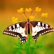 Swallowtail butterfly on flower — Stock Photo