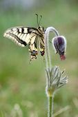 Swallowtail butterfly on Pulsatilla flower — Stock Photo