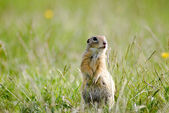 Gopher between flowers and grass — Stock Photo
