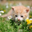 Young red cat between flowers — Stock Photo