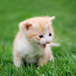 Young red cat on the grass — Stock Photo
