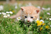 Junge rote katze zwischen blumen — Stockfoto