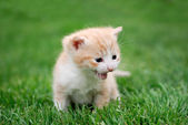 Young red cat on the grass — Stok fotoğraf