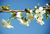 Cherry blossom before blue sky — Stockfoto