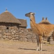 Stock Photo: Llama-camel