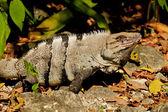 Beautiful nature image of an iguana. — Stock Photo