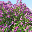 Lilac flowers with green leaves in sunny spring day — Stock Photo #5650314