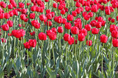Beautiful tulips in the garden — Stock Photo