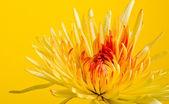 Crysantheum flower — Stock Photo