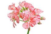 Pelargonium květ — Stock fotografie