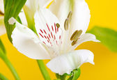 White lily flower — Stock Photo