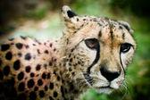 Cheeta — Stock Photo