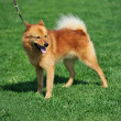 Stock Photo: Finnish spitz