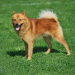 Finnish spitz - Stock Photo