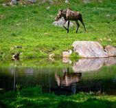 Swedish moose — Stock Photo