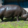 Large hippo - Stockfoto