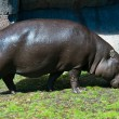 Large hippo - Stock Photo
