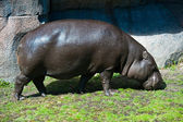 Gros hippopotame — Photo